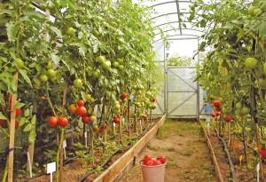 теплицы для дачи для высокого урожая